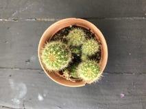Kaktusträ, kaktus på naturlig wood stilleben Royaltyfri Foto