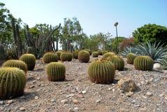Kaktusträdgård royaltyfri fotografi