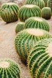 Kaktusträdgård Arkivbild