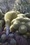 Kaktusträdgård Arkivbilder