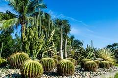 Kaktusträdgård i bakgrund Arkivfoto