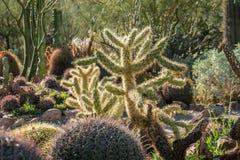 Kaktusträdgård i Tucson Arizona arkivbilder