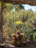 Kaktusträdgård i Tucson Arizona royaltyfri foto