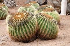 Kaktusträdgård, Tenerife, Spanien royaltyfri fotografi