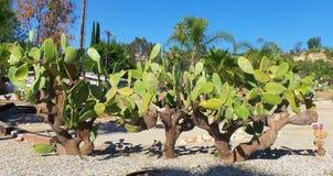 Kaktusträdgård - vattenbeskydd Arkivbild