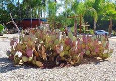 Kaktusträdgård - vattenbeskydd Royaltyfri Bild
