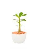 Kaktusträdväxten med gröna sidor i den vita krukan isolerade vit Arkivfoton