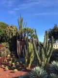 Kaktusträdgård i sol Arkivbilder