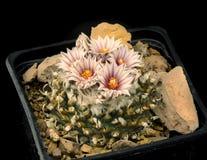 Kaktusturbinicarpuspanarottoi med blomman som isoleras på svart Arkivbild