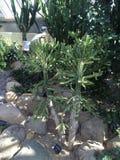 Kaktusuppehälle i en öken Royaltyfri Foto