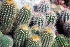 Kaktusuppsättning Arkivbild