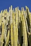 Kaktusvägg Arkivfoton