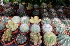Kaktusvänner - sortimentet av Mini Cactus formar sammanlagt Royaltyfri Fotografi
