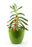 kaktusväxt Arkivbilder