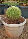 Kaktusväxt Fotografering för Bildbyråer
