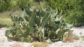 Kaktusväxt Royaltyfri Foto