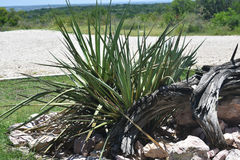 Kaktusväxt Royaltyfria Bilder