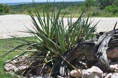 Kaktusväxt Arkivbild