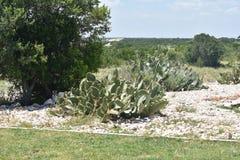 Kaktusväxt Royaltyfri Fotografi