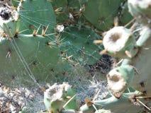 Kaktusväxt för taggiga päron med rengöringsduk för spindel s Fotografering för Bildbyråer