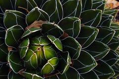 Kaktusväxt i den Mexico öknen Arkivfoton