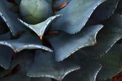 Kaktusväxt i den Mexico öknen Royaltyfri Fotografi