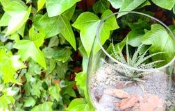 Kaktusväxt i en krus royaltyfri foto