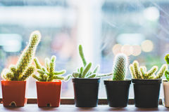 Kaktusväxt i kruka royaltyfria bilder