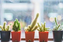 Kaktusväxt i kruka fotografering för bildbyråer