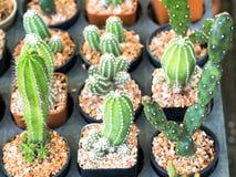 Kaktusväxt i liten kruka Royaltyfri Fotografi