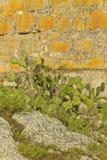 Kaktusväxt med den forntida stenväggen Royaltyfri Fotografi