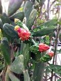 Kaktusväxt med röda blommor Royaltyfri Bild