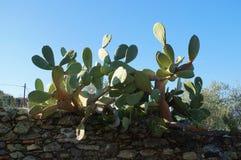 Kaktusväxt mot blå himmel Royaltyfri Foto