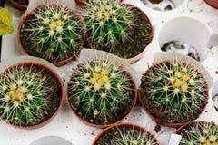Kaktusväxt- och naturbegrepp - många krukor på lagerhyllor Royaltyfria Foton