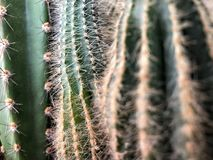 Kaktusväxt som en bakgrund Arkivbild