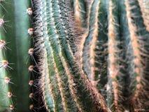 Kaktusväxt som en bakgrund Arkivbilder