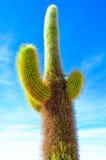 Kaktusväxten, saltar öknen, Bolivia Fotografering för Bildbyråer