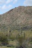 Kaktusväxter i öken Arkivfoton