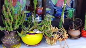 Kaktusväxter i färgglade krukor, grekisk ö Fotografering för Bildbyråer