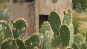 Kaktusväxter i fokus stock video
