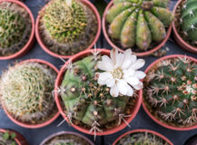 Kaktusväxter i krukor royaltyfri bild
