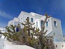 Kaktusväxter mot vita grekiska öar utformar arkitektur under blå himmel, den Santorini ön Royaltyfri Fotografi