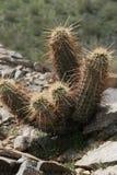 Kaktusväxtgrova spikar Royaltyfri Fotografi