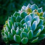 Kaktusväxtmakro arkivfoton