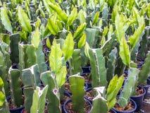 Kaktusverpflanzung stockbild