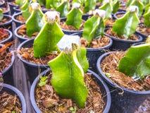 Kaktusverpflanzung lizenzfreie stockbilder