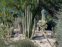 Kaktusvielzahl, Palm Desert Stockfoto