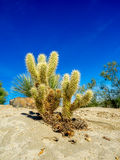 Kaktusvielzahl, Palm Desert Stockfotografie