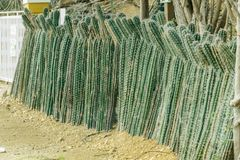 Kaktuswand lizenzfreie stockbilder