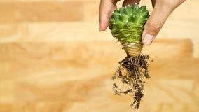 Kaktuswurzel mit hölzernem Hintergrund Stockfotos